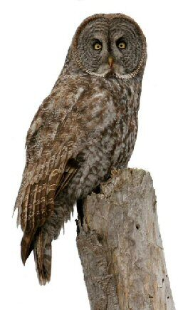 Our mascot, The Great Gray Owl